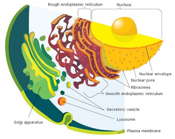 еукариоти