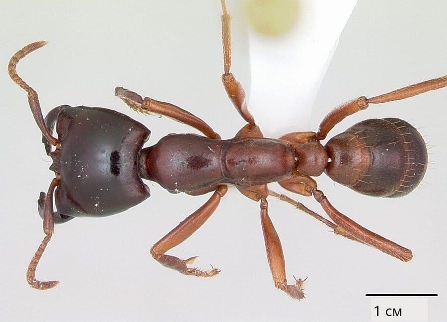 Мравките Сиафу