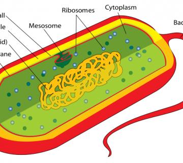 прокариоти