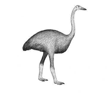 слонската птица Гитантски епиорнис