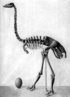 Скелет на слонската птица - гигантски епиорнис